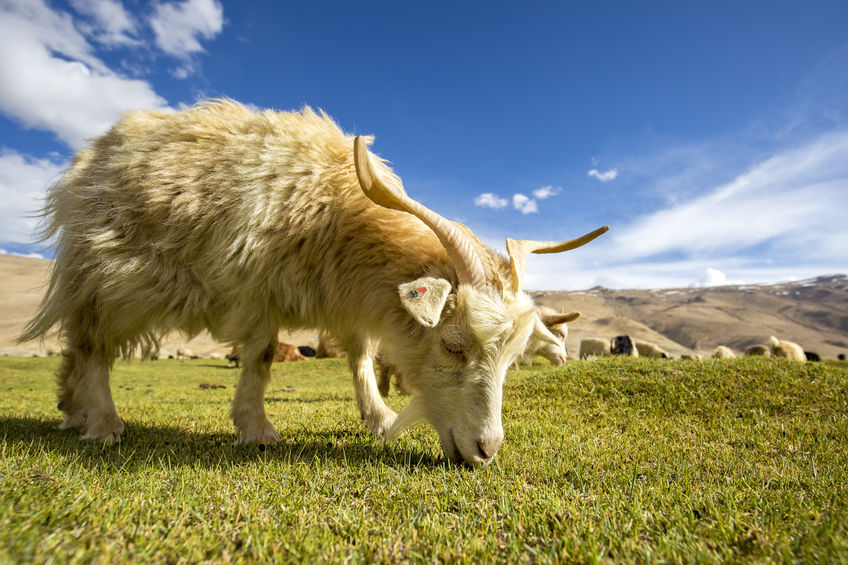 Cashmere Goat grazing on grass
